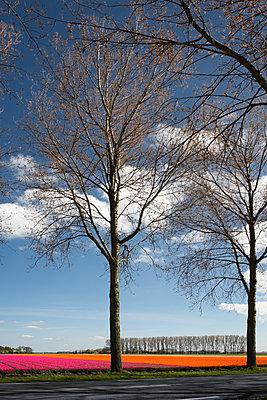 Bäume vor einem Tulpenfeld - p1032m1139042 von Fuercho