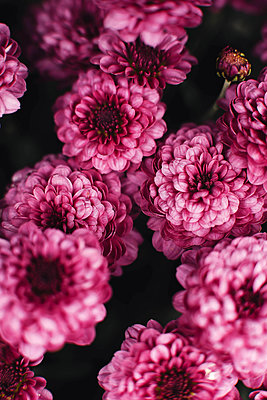 Closeup on pink chrysanthemum flowers - p1166m2095215 by Cavan Images
