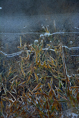 Germany, Bavaria, Dornach, Frozen pond with grasses - p300m950276f by Axel Ganguin