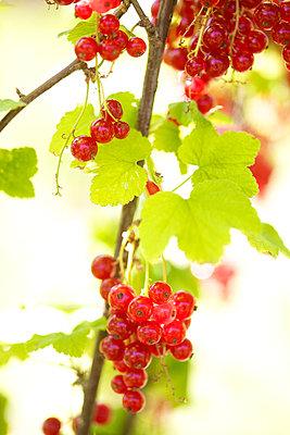 Rote Johannisbeeren - p6060622 von Iris Friedrich