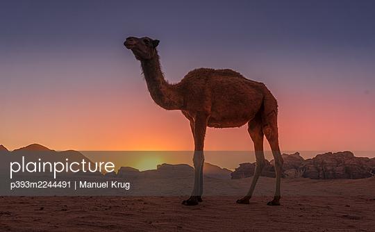 Jordan, Camel in the desert at sunset - p393m2244491 by Manuel Krug