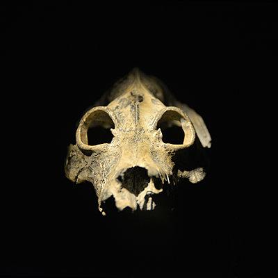 Giant Lemur Skull - p1072m2164586 by Neville Mountford-Hoare