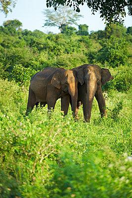 Zwei indische Elefanten - p1259m1111490 von J.-P. Westermann