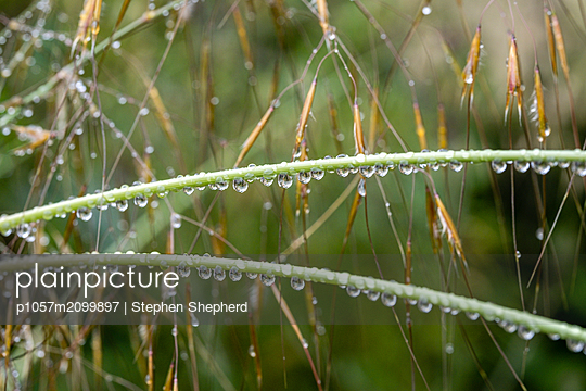 Reed covered with raindrops - p1057m2099897 by Stephen Shepherd