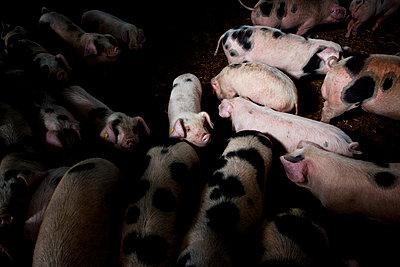 Schweinestall - p1057m1072092 von Stephen Shepherd