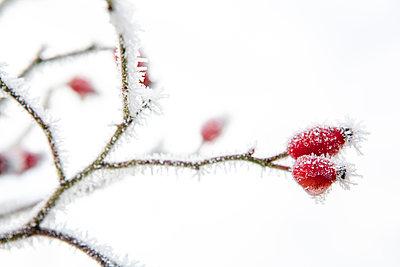 Rose hips in winter - p1057m959304 by Stephen Shepherd