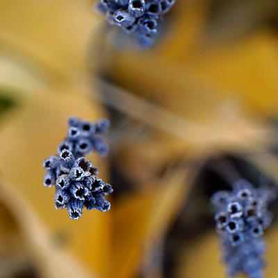 Lavendel, Blüten, Detail  - p1578m2168757 von Marcus Hammerschmitt