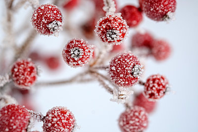 Red berries of common holly, Ilex aquifolium in winter, frost-covered - p300m2083566 by Lisa und Wilfried Bahnmüller