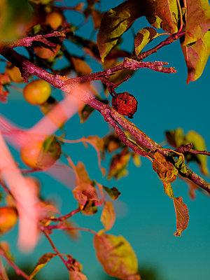 Apple tree - p801m2257708 by Robert Pola