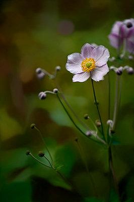 Blume - p949m902540 von Frauke Schumann