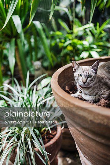 Cat in flowerpot - p728m2219751 by Peter Nitsch