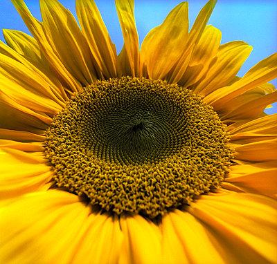 Sonnenblume - p2200159 von Kai Jabs