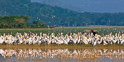 A lone Cape Buffalo stands behind a mass of Great White Pelicans while Grey-headed Gulls take to the wing at Lake Nakuru National Park, - p6521987 by Nigel Pavitt