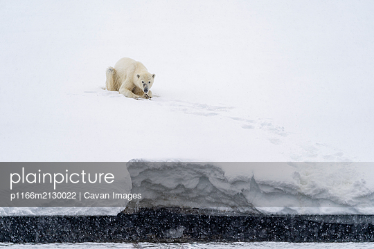 a polar bear is sitting in the snow near the shore - p1166m2130022 by Cavan Images