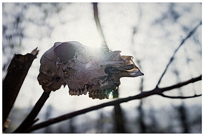 Skewered skull of an animal in the forest - p1564m2294930 by wpsteinheisser