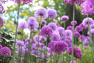 Allium Flower - p045m1042693 by Jasmin Sander