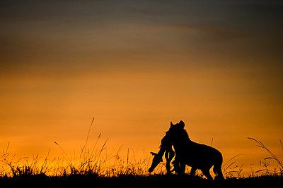 Silhouette of hyena carrying carcass of baby zebra at dawn, Masai Mara, Kenya - p429m2036720 by Rodrigo Friscione