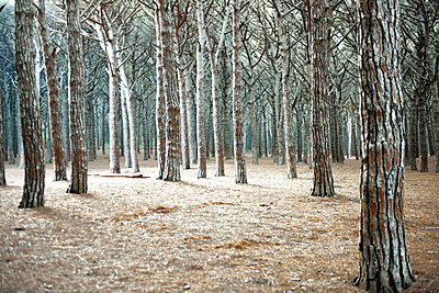 Forest with Pine-trees - p533m1194904 by Böhm Monika
