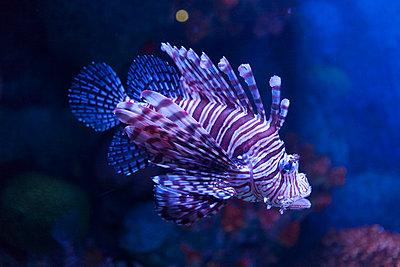 Lionfish - p842m1030601 by Renée Del Missier