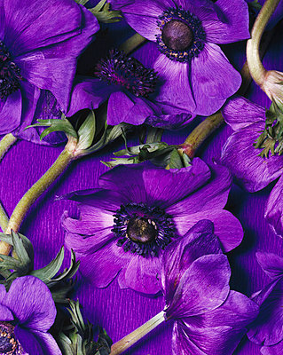 Purple anemone - p8570055 by Julia Droop