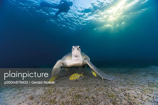 Egypt, Red Sea, Green sea turtle (Chelonia mydas) eating seaweed - p300m878432 by Gerald Nowak