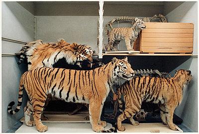 Tiger - p1205m1020915 von Annet van der Voort