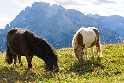 grasende Ponys in den Dolomiten, Trentino, Belluno - p1273m1198512 von melanka