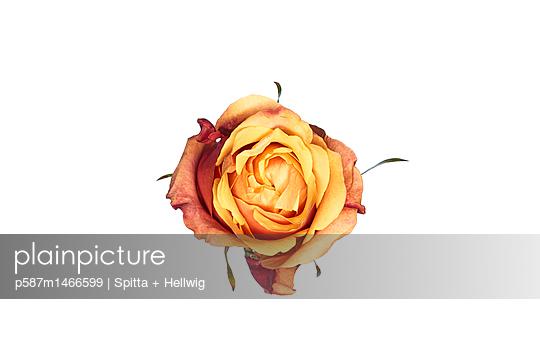 wild Rose - p587m1466599 von Spitta + Hellwig