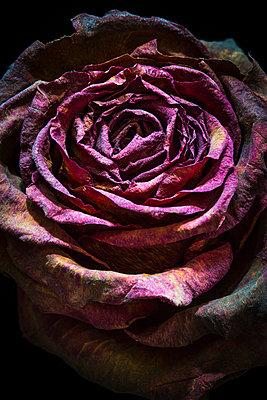 Die Schönheit des Vergänglichen - p1057m916843 von Stephen Shepherd