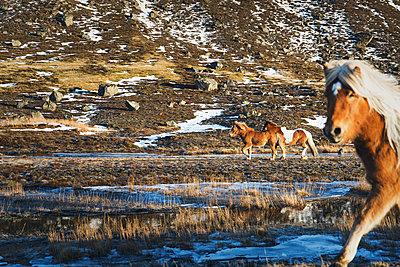 Icelandic horses - p1477m1586424 by rainandsalt