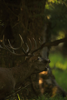 Roaring Stag - p1026m809133f by Romulic-Stojcic