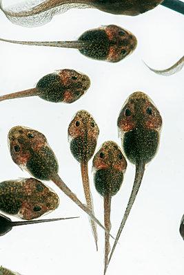 Greenback, tadpoles, Hyla arborea - p1437m2052860 by Achim Bunz