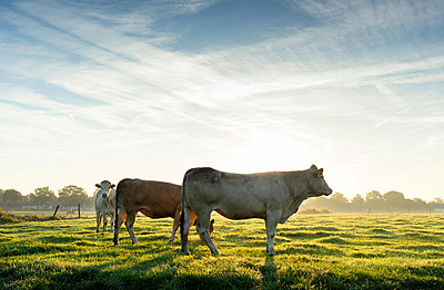 Cows standing in field in early morning sunlight, Netherlands - p429m2058267 by Mischa Keijser