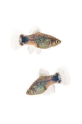 Two Blue Micky Mouse Platy fish (Xiphophorus Maculatus) on a white background - p442m2074377 by Leah Bignell
