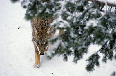 Wolf im Wald - p3300483 von Harald Braun