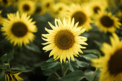 Close-up of sunflower growing outdoors during sunny day - p1166m2095504 by Cavan Images