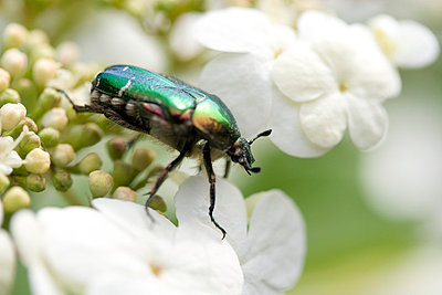 Beetle - p4170165 by Pat Meise