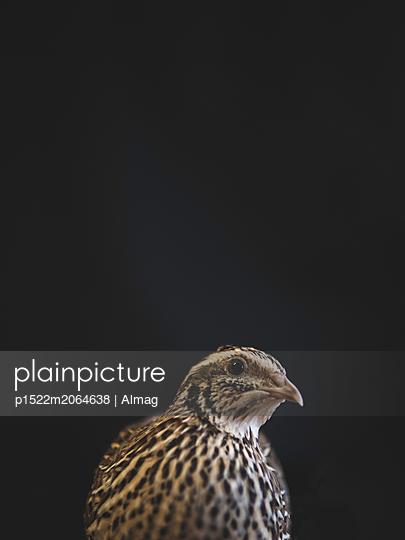 Portrait of quail - p1522m2064638 by Almag