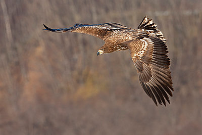 Common buzzard in flight - p1100m887861f by Art Wolfe