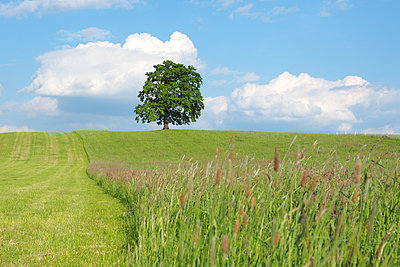 Single deciduous tree in a field - p338m2186102 by Marion Beckhäuser