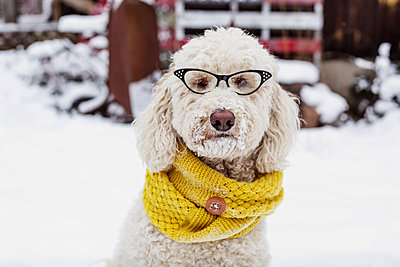 Portrait of poodle in eyeglasses on snowy field - p1166m1210840 by Cavan Images