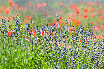 View of lavender and red poppy flowers - p300m797777f by Achim Sass