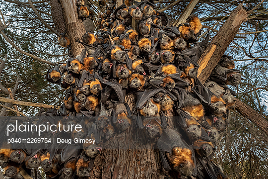 During an extreme heat-stress event at Melbourne's Yarra Bend Grey-headed Flying-fox (Pteropus poliocephalus) colony - p840m2269754 by Doug Gimesy