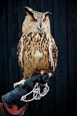Eagle owl - p1221m1051136 by Frank Lothar Lange