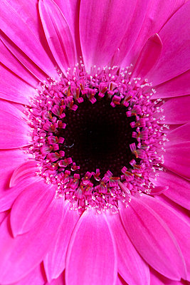 Pink coloured Gerbera - p1248m2152476 by miguel sobreira