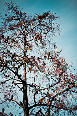 Doves in a tree - p795m2044782 by Janklein