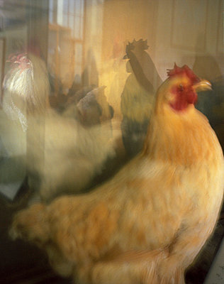 Hühner - p9450131 von aurelia frey