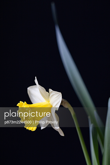 Blossoming daffodil  - p873m2244500 by Philip Provily