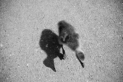 Running duckling - p1195m1195436 by Kathrin Brunnhofer