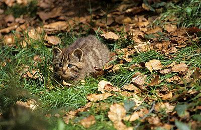 Wildkatze - p3300528 von Harald Braun